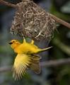 The Tiny Taveta Golden Weaver