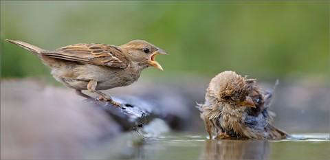 House_sparrow_epic_quarrel