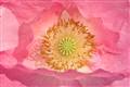 Pretty pink poppy