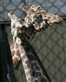 giraffes_7290