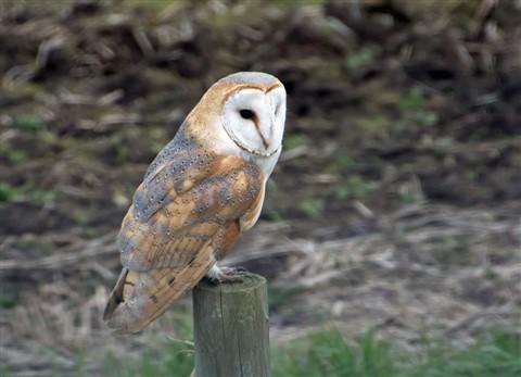 Barn Owl V2 (1024px)