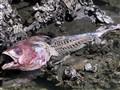 Fishy Skeleton