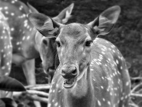 deer4 (Custom)