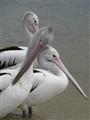 Australian pelicans in the wild