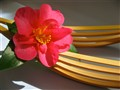 Japanese Sasanqua Camellia 'Hiryu'.