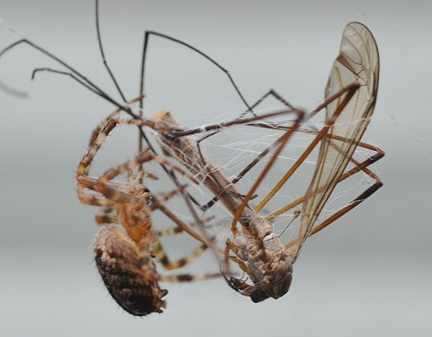 Spider and the Crane Fly