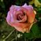 Magenta-Rose-Web