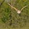 DGB_7709_Barn Owl
