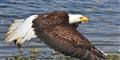 Big Beef Creek Bald Eagle