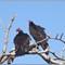 CR vultures_1