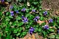 violets0041