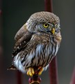 Norther Pygmy-Owl