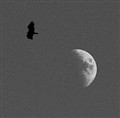 moon and buzzard