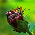 Assassin bugs attacking Althea bud