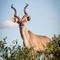 Kudu antilope posing