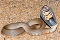 Wild Mozambique Spitting Cobra
