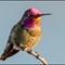 Allen's Hummigbird-656-Edit