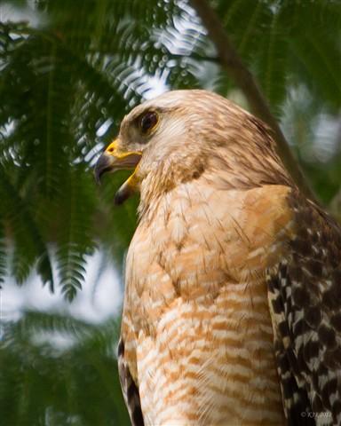 Red Shouldered Hawk 2