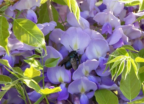 wysteria and bee