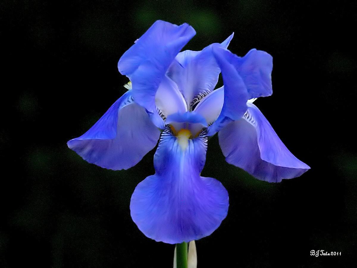 blue iris fantasy faranya galleries digital photography. Black Bedroom Furniture Sets. Home Design Ideas