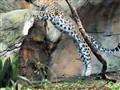 Leapin' Leopard!