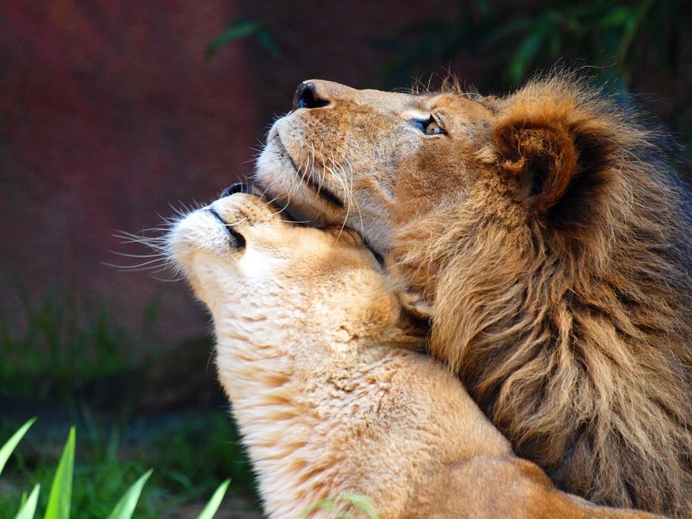 C Lion Review Lion Love: isaac_ali: ...