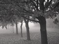IMG_4388BWTrees in a misty park