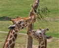 Two Giraffes sharing a meal