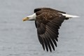 After perching atop a dock piling for nearly two hours this bald eagle decided it was time to fly away. Luckily I was ready with the camera and was able to snap a few nice shots as it left.