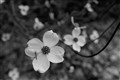 b&w april dogwood