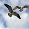 birds_gulls_20110101_175