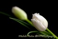 tulip with boka