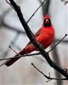 Cardinal at Heckrodt Park