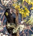 Yellow tailed black cockatoo searching for worms