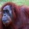 orang-outang beauty!