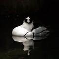 Resting duck