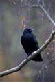 Raven at Rest