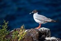 Galapagos Sea gull