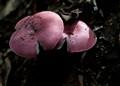 Rouge Mushroom