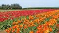 Woodenshoe Tulips