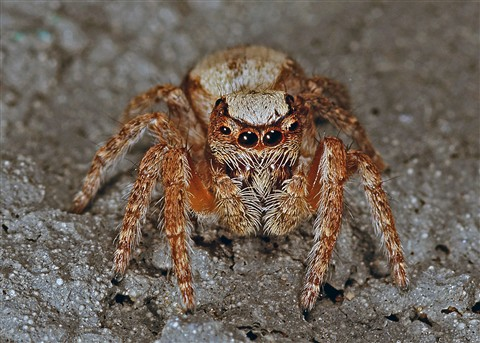Jumping spider head on