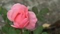 Pink rose sample