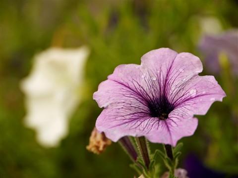 Purple Petunia