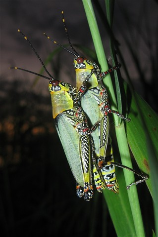 Weird coloured grasshoppers against the sunset