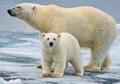 svalbard polar bear sow and cub on ice floe