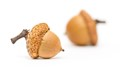 The two little acorns
