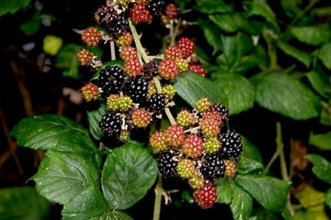 Wild Berries (33739513)