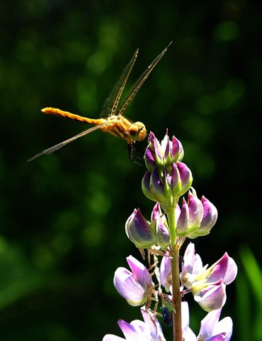 WinemaNF_DragonflyLupine_JacksonCr_3XS_071306_reduced