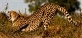 Cheetah aerobics!