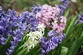 Mulit-colored Hyacinths